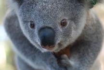 Koalas. / by Eryn .