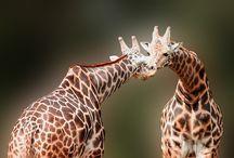 Giraffe / by Kerry Davies