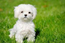Pets, dogs, my sweet malteze / Pets, dogs, my amazing malteze ❤️