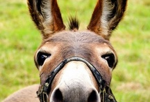 Long Ears / by Chocolate Horse Farm Gypsy Vanner Horses