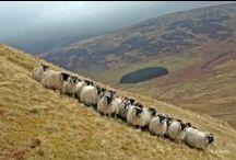 Sheep. Sheep, Sheep