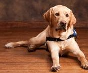Service Dogs / To all the service dogs who help out around the world. We couldn't do it without them!