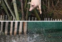 FREE THE PIGS