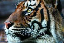 Animal Totem // Tiger