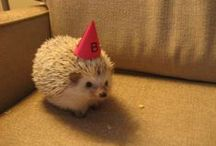 Hedgehogs / Adorable hedgehogs! Resources for people who have pet hedgehogs and more.