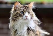 Magnificent Norwegian Forest Cats