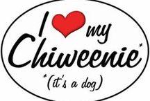 Buddy / My new Chiweenie puppy!