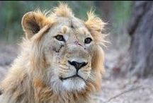 Pride of Lions / Lions life,often hevy,dificult,ungrateful but always great and proud.The most beautiful creatures on the world.Pictures of the wild,untameable,cut or dangerous kings of the savannah.