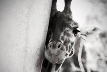 Giraffe! <3