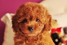 Goldendoodle DO dos / For our swirly curly family members