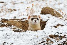 Ferrets! / Ferrety love for all~ / by Amythest Schaber