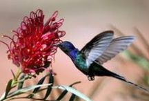 Hummingbirds / What amazing little bird's these are