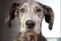 Great Danes / There ain't nothing like a Dane!