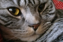 Mimas / Photographs of my beautiful silver spotted tabby cat