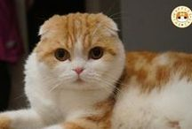 Waffles the cat / Scottish fold Waffles. So funny and cute