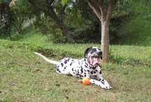Meus cães / Madona e Latoya