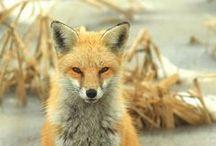 Foxy Loxy / by Janie Schaafsma