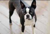 MY FURRY BABIES / Meet our Boston Terrier - Buffy and Boxer - Gretta