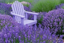 Lavender / The Beauty of Purple