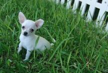 Chihuahua / Impresionante  chihuahua mini. Si lo que buscas es el mejor regalo. Regala un chihuahua toy del Criadero Cantillana ¡DATE EL GUSTAZO! Somos profesionales con más de 20 años de experiencia. Presume de chihuahua de una vez.  Contacta con nosotros para obtener mas información sobre tu cachorro chihuahua 955730962 – 619689219     ¡NO LO DUDES MÁS!