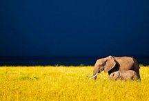 Elegant Elephants. / My favorite beings...