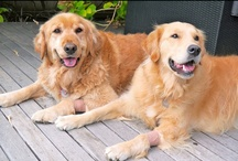 Golden Retrievers / I love all dogs, I love all animals, but Golden Retrievers are my favourite. I have one year old Cooper and I had two beautiful Golden girls, Kobe and Riley who have now gone to Rainbow Bridge and are missed every day.  / by Vija Anton