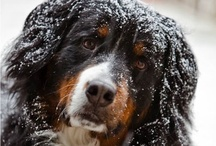 Adore my Berners / We have just welcomed Tasha, our second Berner ~ Our Miss Baggins, being the Grand Dame at 12 ! They are a marvelous breed~ / by Rarebits