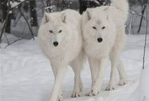 Wolves / My favorite animal, and the subject of my first book released. Fire of the Wolf