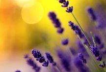 Lavande / french, france, lavender, flower, floral, purple / by Holly Louen