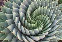 Fibonacci in Nature / The Fibonacci sequence are the numbers in the following integer sequence: 0, 1, 1, 2, 3, 5, 8, 13, 21, 34, 55, 89 etc. The sequence appears first time in Indian mathematics/Sanskrit.