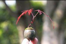 Bonsai, Trees / by Stony Hill Farm Greenhouses, LLC