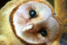 Ö,Ö Kuscheleulen Ö,Ö Cuddle Owls Ö,Ö