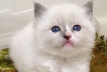 Emerson  :) / All things for my Blue Mitted Ragdoll, Emerson (I swear I'm not a crazy cat lady.....okay, I am)    / by Caroline Harwell