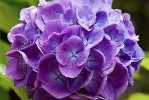 I Love Hydrangeas! / by ~Kary Snyder~