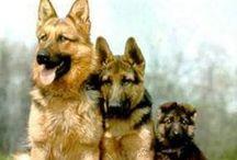 German Shepherds / by Anita Ferris
