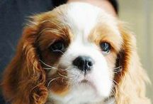 Dogs / My daughter and I have King Charles Cavaliers I have the boy - Beau & she (daughter) has the girl - Pippa.  There are a lot of King Charles Cavalier Pictures. They are fun, playful, dedicated, and love people. More cute than smart. / by Nancy Ash
