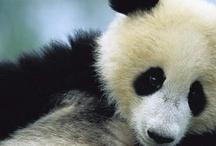 Panda Love / by Bonnie DeCoste Mumley