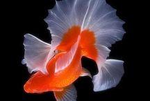 Goldfish / by Kenji 08