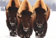 bison and buffalo / by Bonnie DeCoste Mumley