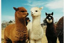 Alpaca, llamas and camels / by Bonnie DeCoste Mumley