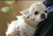 Chi  chi  love / In case you hadn't noticed .. this is the most sweetest little dog :o)