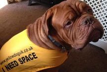 Yellow Dog UK campaign... / a campaign launched in 2012 where a dog sporting a yellow ribbon on their lead or a snazzy yellow bandana means 'this dog needs space'. This could be for a pup in training, post-op, nervous, in-season, un-well or old and grumpy!