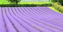 Lavender Farming / Research on starting a lavender farm.