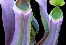 Carnivorous Plants / Plants that are out of this world!