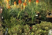 Nothin' but Waterwise Plants / Low water plants for your yard and garden.  These are plants we love for the Sacramento, California area.