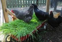 Chickens! / by Jenny Lee
