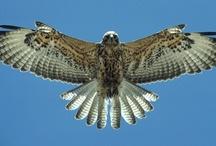 Hawks / by Rick Howard