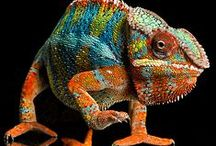REPTILES and AMPHIBIANS / Learn more about reptiles and amphibians here, such as bearded dragons, chameleons, geckos, aligators, and such.