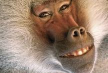 MONKEYS, APES / Monkeys and Apes of the primate world are complicated and fascinating creatures.