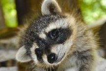 RACCOONS / Raccoons are wild creatures that live in our forests. They are inquitive, curious creatures. Cute too.